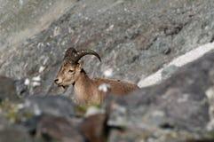 Chèvre caucasienne Photos libres de droits