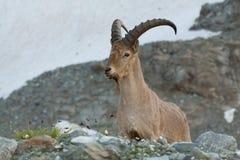 Chèvre caucasienne Images libres de droits