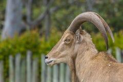 Chèvre caucasienne occidentale de tur Images libres de droits