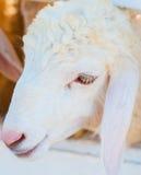 Chèvre corse Image libre de droits