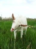 Chèvre curieuse Image stock