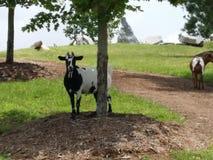 Chèvre curieuse Image libre de droits