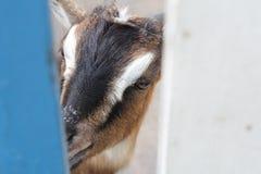 Chèvre curieuse Photos stock