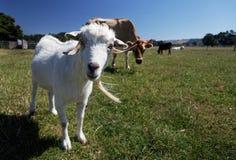 Chèvre curieuse regardant directement dans l'appareil-photo image stock