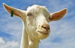 Chèvre d'étiquette Images libres de droits