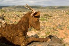 Chèvre d'île de Socotra Photo libre de droits