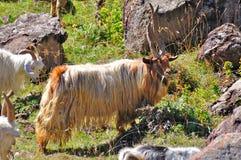 Chèvre d'alpha mâle Photographie stock libre de droits