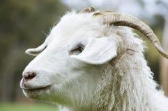 Chèvre d'angora Photos libres de droits