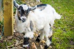 Chèvre d'enfant à la ferme Image stock