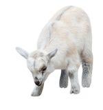 Chèvre d'enfant d'isolement sur le blanc Photo stock