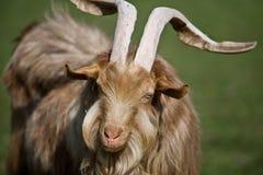 Chèvre d'une chevelure Shaggy Image stock
