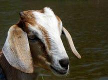 Chèvre dans Alleppey Kerala, Inde Photographie stock libre de droits