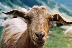 Chèvre dans Fagaras images libres de droits