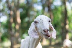 Chèvre dans l'Africain indien avec de longues oreilles et fourrure avec le fond dans les prairies frôlant dans le côté de pays photos stock