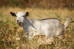 Chèvre dans l'herbe Photo libre de droits