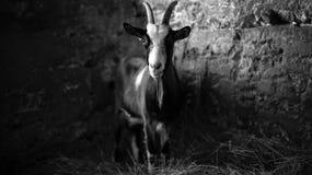 Chèvre dans l'obscurité photographie stock libre de droits