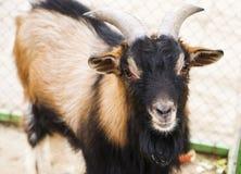 Chèvre dans la cour de village Photographie stock