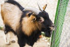 Chèvre dans la cour de village Image stock