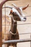 Chèvre dans la ferme Photographie stock libre de droits