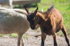 Chèvre dans la ferme Photographie stock