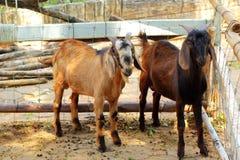 Chèvre dans la ferme avec la nature photographie stock