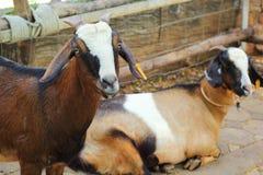 Chèvre dans la ferme avec la nature photo libre de droits