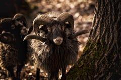 Chèvre dans la forêt Images libres de droits