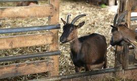 Chèvre dans la grange de la ferme des chèvres d'élevage pour le produc de fromage Image libre de droits