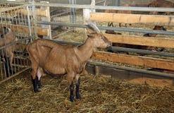 Chèvre dans la grange de la ferme des chèvres d'élevage pour le produc de fromage Photo libre de droits
