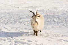 Chèvre dans la neige Photo stock