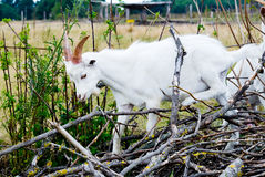 Chèvre dans le buisson Image libre de droits
