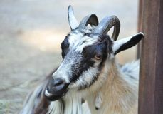 Chèvre dans le corral de ferme image stock