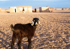 Chèvre dans le désert du Sahara Images libres de droits