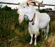 -chèvre dans le domaine Photos stock