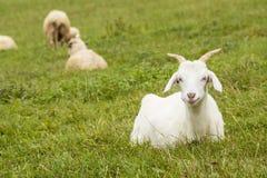 Chèvre dans le domaine photo stock