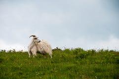 Chèvre dans le domaine Photographie stock libre de droits