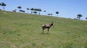 Chèvre dans le domaine, derrière la chèvre les arbres verts Photos stock
