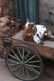 Chèvre dans le pousse-pousse Images libres de droits