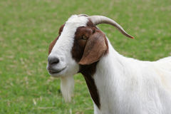 Chèvre dans le pré Photos stock