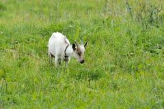 Chèvre dans le pré image stock