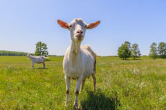 Chèvre dans le pré Photo libre de droits