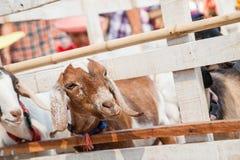 Chèvre dans le pré Photos libres de droits