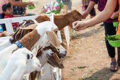 Chèvre dans le pré Image libre de droits
