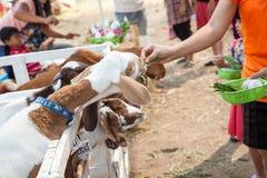 Chèvre dans le pré Photographie stock libre de droits