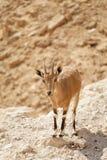 Chèvre dans le sauvage Photo libre de droits