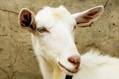Chèvre dans le village Images stock