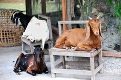 Chèvre dans le zoo Images stock