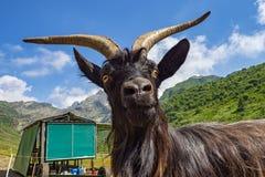Chèvre dans les alpes en gros plan Photos libres de droits