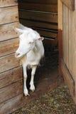 Chèvre dans une ferme Images libres de droits