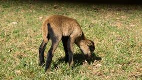 Chèvre de alimentation de bébé Photographie stock libre de droits